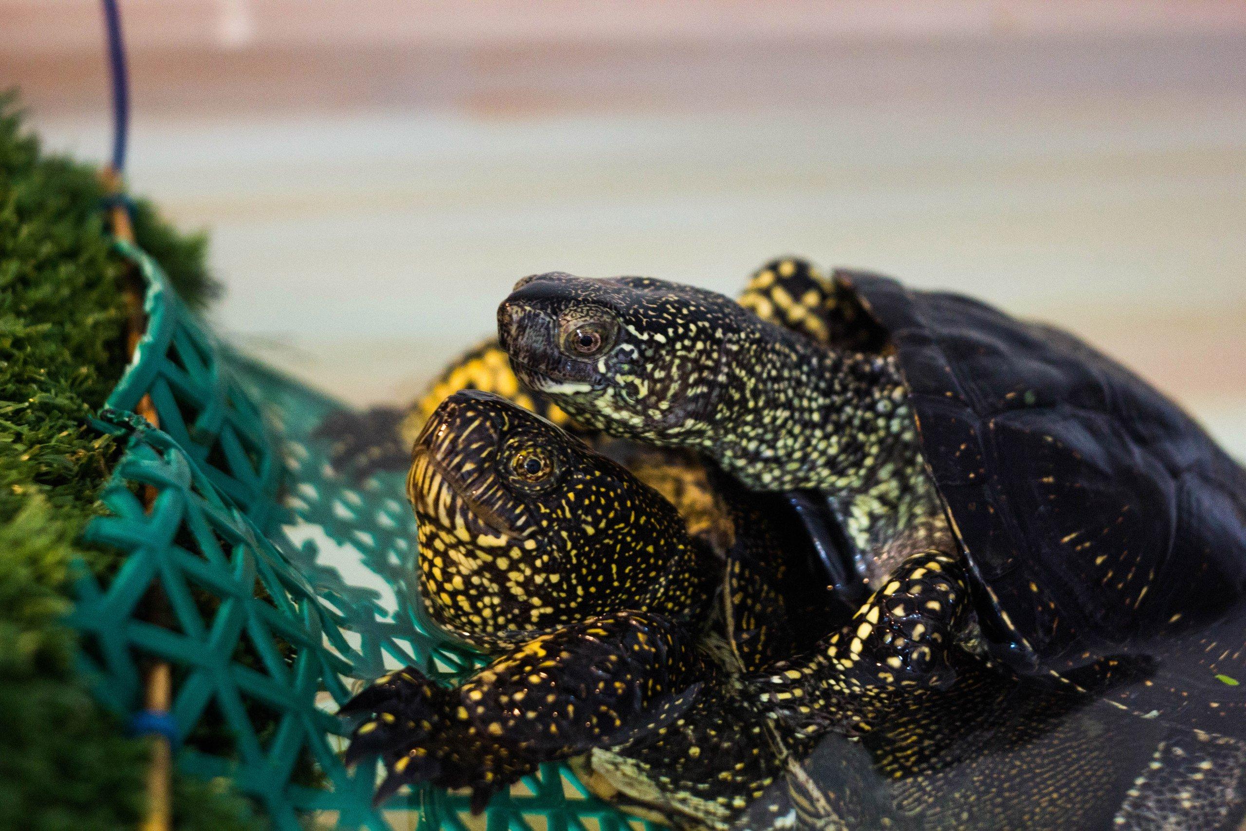 Сбор и передача болотных черепах на выпуск