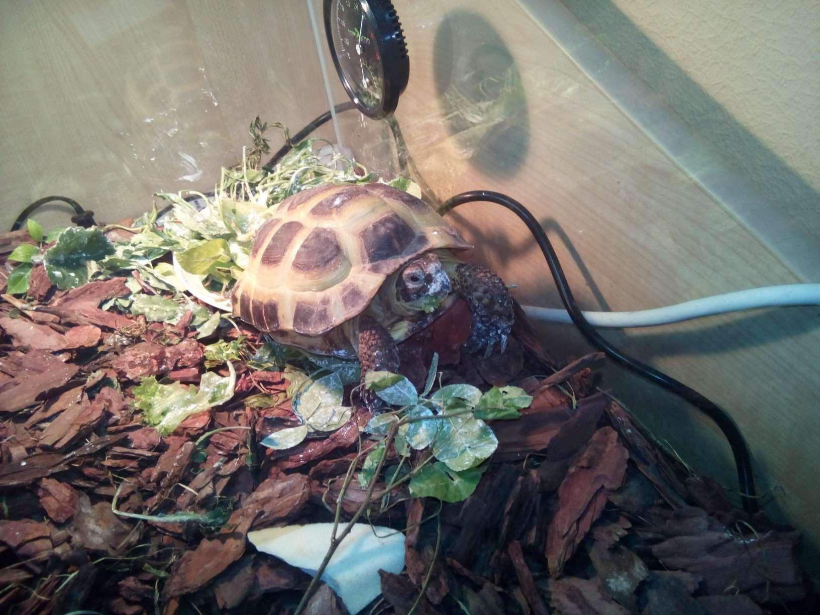 Черепаха Баскервилей