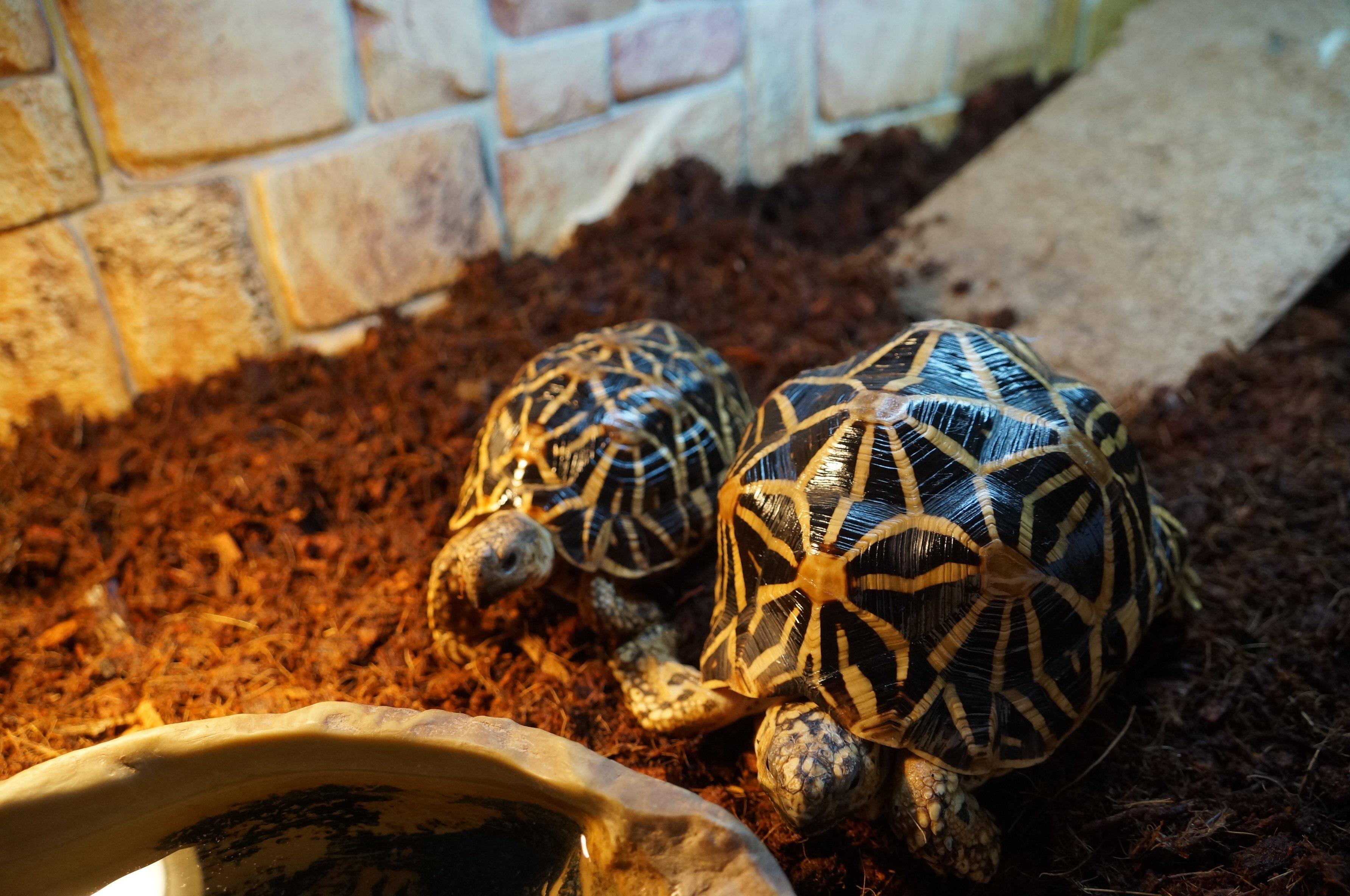 Размножение звездчатых черепах