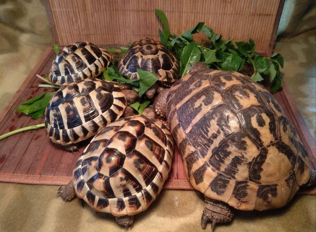 Балканские черепахи.