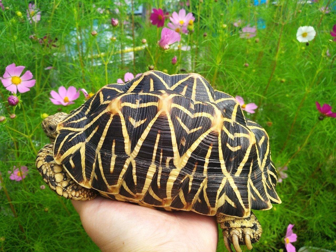 Звёздчатые черепахи.