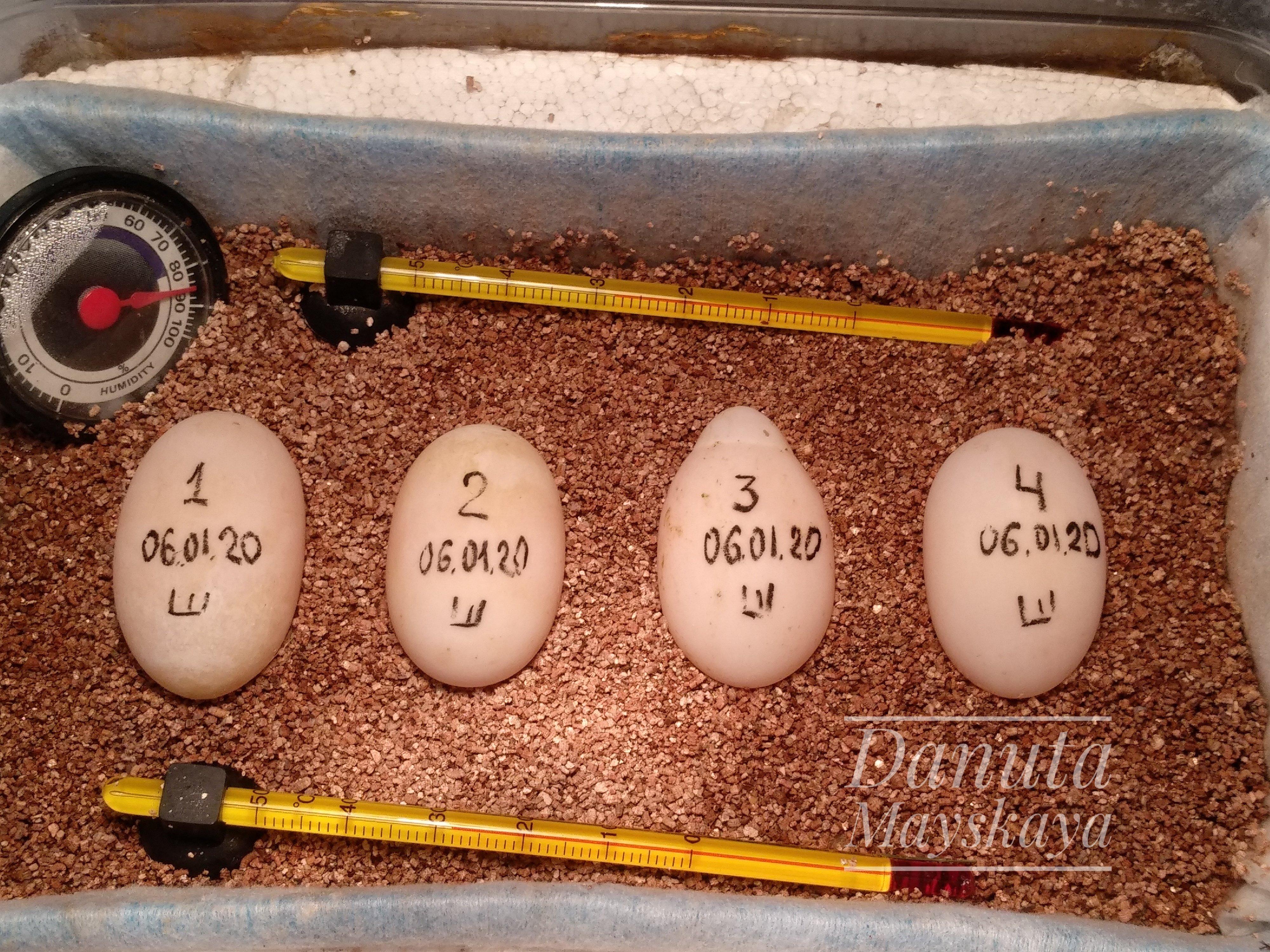 Откладывание яиц звёздчатой самкой.