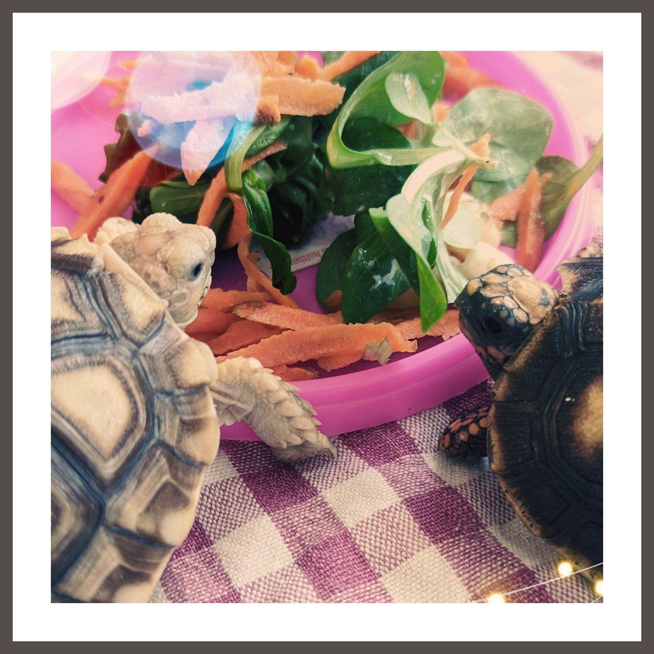 Грязнулька угольная черепаха - новый жилец
